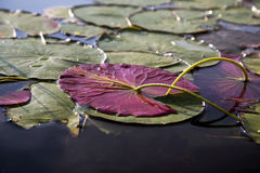 Lily pads in a river. Lily pads, top and underside, in a river in New Hampshire Royalty Free Stock Images