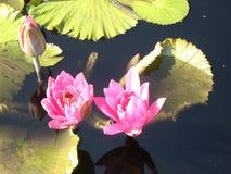 Lily Pads rosa in fioritura Fotografie Stock Libere da Diritti
