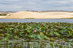 Lily Pads and Sand Dunes Royalty Free Stock Image