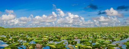 Lily Pads and Sawgrass. Close up of lily pads with sawgrass and blue skies filled with white puffy clouds in the background in the Florida Everglades Royalty Free Stock Photo