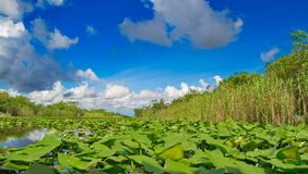Lily Pads and Sawgrass III. Close up of lily pads with sawgrass and blue skies filled with white puffy clouds in the background in the Florida Everglades Stock Image