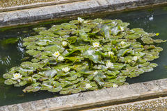 Lily pads. Several lily pads in water Royalty Free Stock Photos