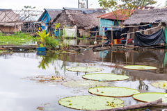 Lily Pads in a Slum. Victoria Amazonica, world's largest lily pad growing in a slum in Iquitos, Peru stock images