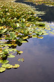 Lily pads in still water. Stock Photo