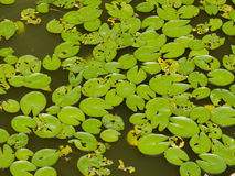 LILY PADS IN STILL WATER Royalty Free Stock Photography