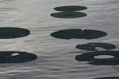 Lily Pads sul lago Fotografia Stock Libera da Diritti