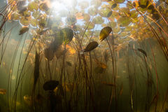 Lily Pads and Sunlight Underwater stock images