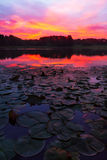 Lily Pads Sunrise stock image