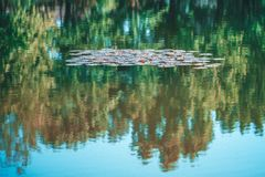 Lily pads on the surface of a pond. Abstract background, reflection of trees in water. Soft focus.  royalty free stock photography