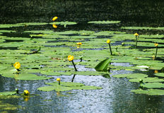 Lily pads on the surface of a pond. Royalty Free Stock Photo