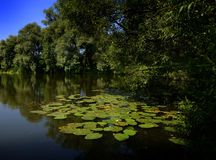 Lily Pads at the Tolstoy country estate, Yasnaya Polyana outside Tula, Russia. Green lily pads float serenely on a pond at Tolstoy& x27;s country estate outside Stock Photo