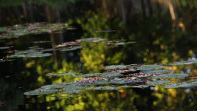Lily pads and tranquil reflections in a pond or lake during summertime evening sunshine stock video