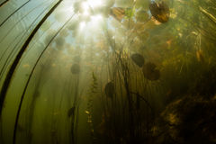 Lily Pads Underwater and Light Stock Image