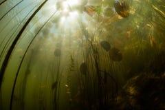 Lily Pads Underwater y luz Imagen de archivo