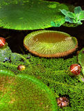 Lily Pads verde brillante Imagen de archivo libre de regalías