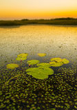 Lily Pads. On the water in the Chobe River, Botswana, Africa at sunset royalty free stock photography
