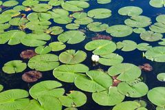 Lily Pads with water lilies stock images