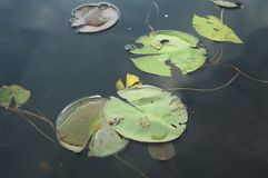 Lily Pads on Water Royalty Free Stock Photos