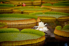 Lily Pads with White Water Lily Stock Image