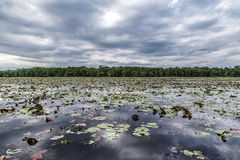 Lily pads on wide lake Stock Photo