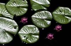 Lily pads in wtaer at zoo Royalty Free Stock Image