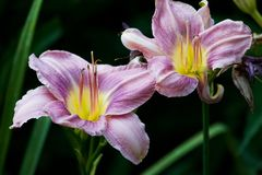 Lily Pair Royalty Free Stock Photo