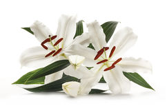 Lily pair isolated on white. Pair of white lilies popular at weddings and funerals, isolated on a white background Royalty Free Stock Photos