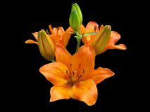 Lily orange flower looks very beautiful on black background. Lily petals orange look spectacular on a black background. Three blossoming flowers and four buds on Stock Photos