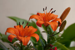 Lily. Photo of plant in the garden. Lily Royalty Free Stock Photo
