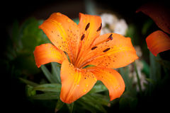 Lily. Photo of plant in the garden. Lily Royalty Free Stock Photography