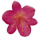 Lily pink-crimson flower, isolated  with clipping path, on a white background. orange pistils, stamens. Orange center. for design. Royalty Free Stock Image