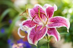 Lily pink flower Royalty Free Stock Images