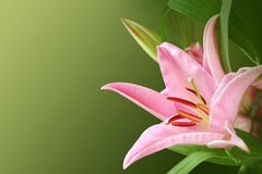 Pink exotic flower Royalty Free Stock Photos