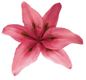 Lily pink  flower isolated  with clipping path, on a white background. beautiful lily for design. Closeup. Stock Photos