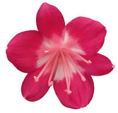 Lily pink flower, isolated  with clipping path, on a white background. light pink pistils, stamens. white-pink center. for design. Stock Image