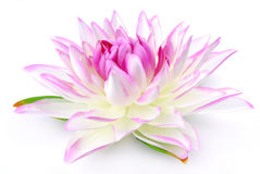 Lily pink isolated Royalty Free Stock Photos