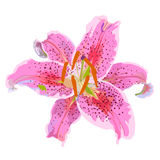 Lily  Stock Image