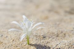 Lily pinned on sand at the beach.  royalty free stock photography