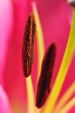 Lily Pistil Stock Image