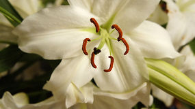 Lily pistils Stock Photo