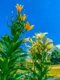 Lily Plant Royaltyfri Fotografi