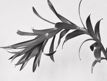 Lily plant isolated in black and white Stock Image