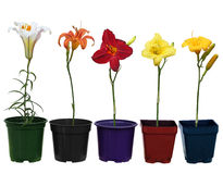 Lily plant pots Stock Photography