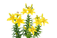 Lily Plant Royalty Free Stock Photo