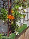 Lily Plants conservata in vaso Fotografia Stock Libera da Diritti