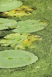 lily podkładek wody Zdjęcie Royalty Free