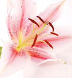 Lily Pollen Royalty Free Stock Photos