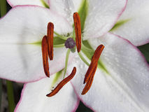 Lily pollen. Close up lily pollen detail Stock Images
