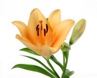 lily pomarańcze bladą dzień Zdjęcie Stock