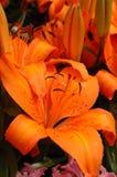 lily pomarańcze Obraz Royalty Free
